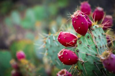 Prickly Pear Extract: Skin Superstar